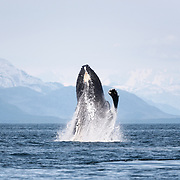This North Pacific humpback whale (Megaptera novaeangliae kuzira) was part of a group of whales that engaged in cooperative bubble-net feeding for several days. One morning, this whale breached multiple times, prompting the other whales in the group to breach and pectoral slap for an extended period of time, as they ended their social foraging behavior and the whales went their separate ways. The weather was unusually clear, providing a view of the Fairweather Range of mountains in the background.