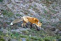 A Red Fox searches for mice and voles in Yellowstone National Park.