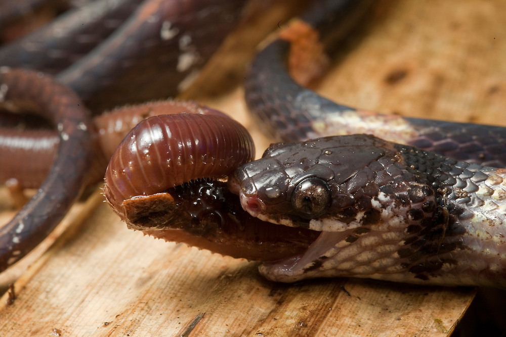 Snake, Dipsas sp., eating a worm in the Choco of Colombia