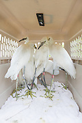 Snowy Egret<br /> Egretta thula<br /> Awaiting release by volunteers of The Bird Rescue Center<br /> Santa Rosa, California