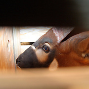 January 29, 2004 - A rare mountain bongo waits in a wooden crate at the Jomo Kenyatta International airport in Nairobi before it will be transported to the Mount Kenya Game Ranch in central Kenya. 18 bongos bred in the United States have for the first time in 38 years been returned to their natural habitat in Kenya in a major step to save the species from extinction. Photo by Evelyn Hockstein