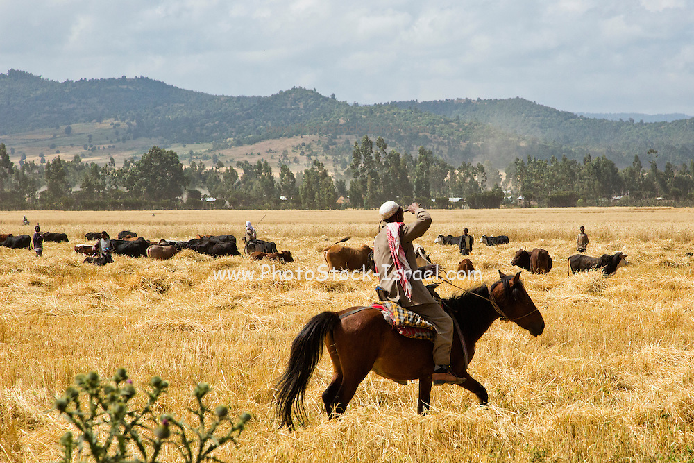Shepherd on horseback in a harvested wheat field in Ethiopia