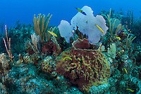 Healthy Soft Corals, Barrel Sponge, and Wrasses..Shot in British Virgin Islands
