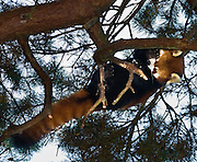 """The Red Panda, Firefox, Fire Cat, or Lesser Panda, or Ailurus fulgens (""""shining cat""""), is a mostly herbivorous mammal, specialized as a bamboo feeder. The most recent molecular-systematic DNA research places the Red Panda into its own independent family Ailuridae. Ailuridae are in turn part of a trichotomy within the broad superfamily Musteloidea (Flynn et al., 2001) that also includes the Mephitidae (skunks) and the Procyonidae (raccoons) + Mustelidae (weasels). Unlike the Giant Panda, it is not a bear (Ursidae). The Red Panda is slightly larger than a domestic cat (40 - 60 cm long, 3 - 6 kg weight), and is endemic to the Himalayas in Bhutan, southern China, India, Laos, Nepal, and Burma. Red Panda is the state animal in the Indian state of Sikkim, and also the mascot of the Darjeeling international festivals. There is an estimated population of fewer than 2,500 mature individuals. Their population continues to decline due to habitat fragmentation. Photographed in the Woodland Park Zoo, Seattle, Washington."""
