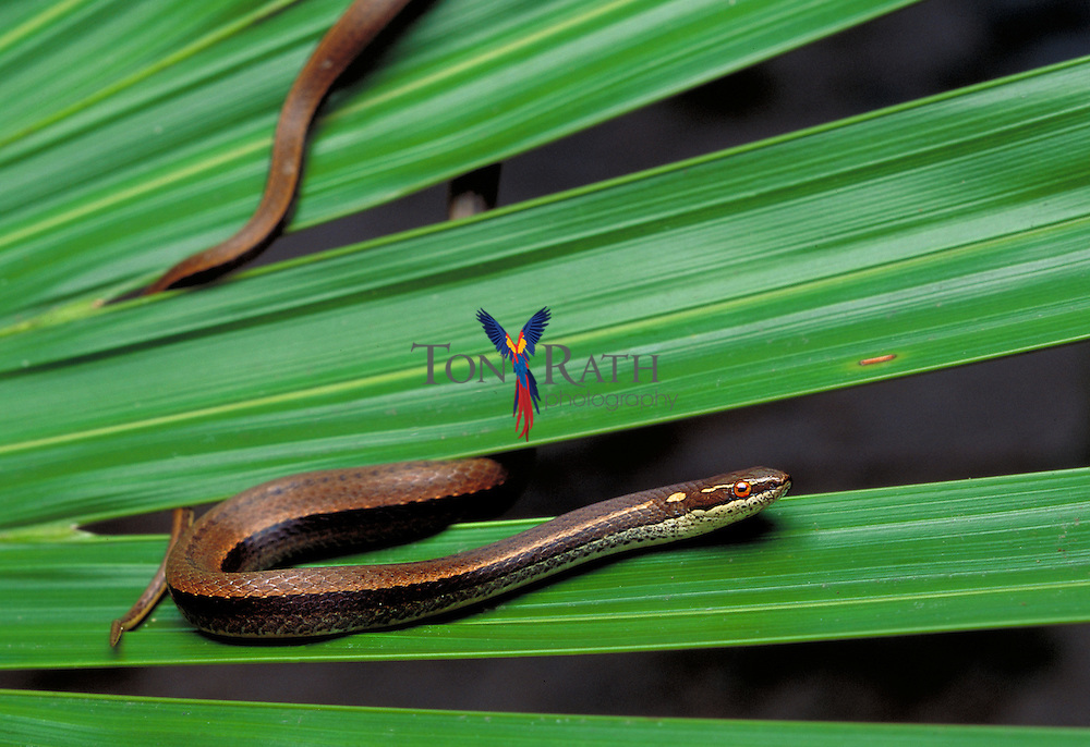 Garden snake, Coniophanes sp., Cockscomb Basin Wildlife Sanctuary, Stann Creek District, Belize