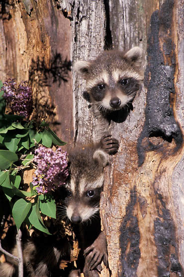Raccoon, (Procyon lotor) Young in hollow tree. Montana. Summer. Captive Animal.