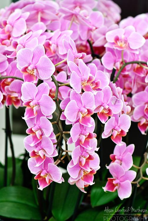 Phalaenopsis Orchid Keukenhof Spring Tulip Gardens, Lisse, The Netherlands.