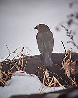 Brown-headed Cowbird. Image taken with a Nikon D5 camera and 600 mm f/4 VRII lens (ISO 640, 600 mm, f/4, 1/1250 sec).