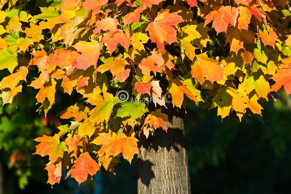 Montreal, QC, Canada. Botanic Garden. Maple tree/Jardim Botanico de Montreal - O bordo , ou Maple, arvore cuja folha simboliza o Canada