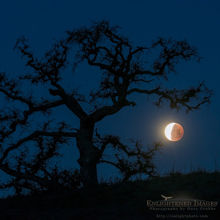 Super Blood Moon Lunar Eclipse sets next to an oak tree while coming out of totality in a rare 150-year convergence, Contra Costa County, California