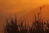 Great Reed Warbler (Acrocephalus arundinaceus) singing in the sunrise. Velipoja, Albania June 2009