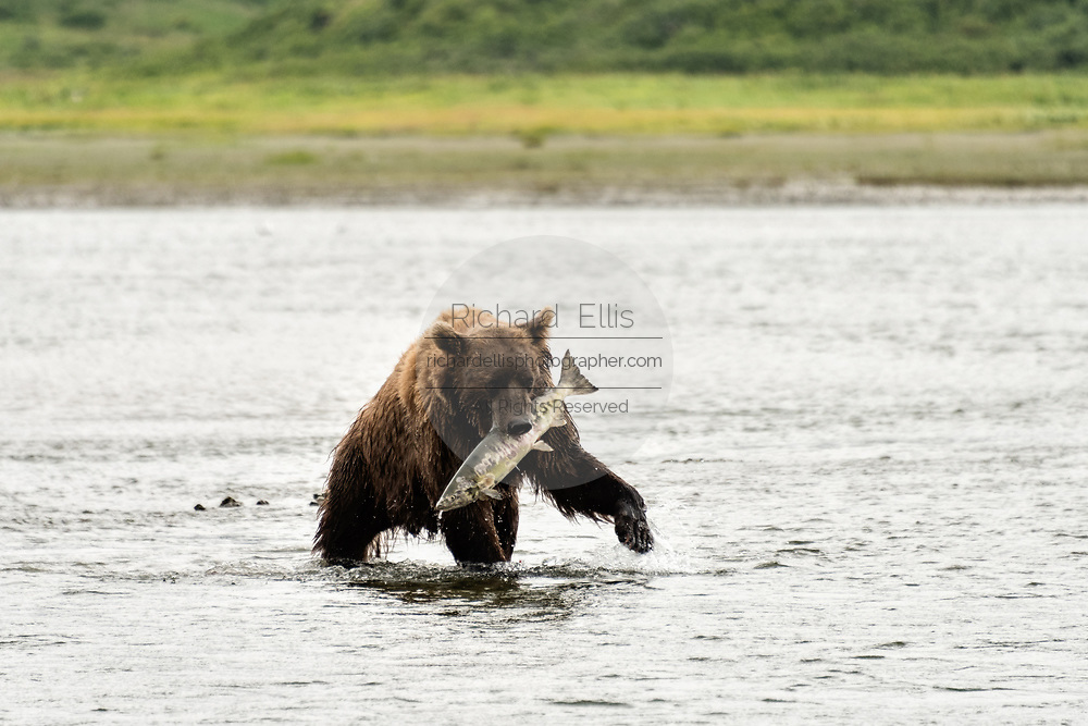 A Brown bear boar catches a large chum salmon captured in the lower river at the McNeil River State Game Sanctuary on the Kenai Peninsula, Alaska. The remote site is accessed only with a special permit and is the world's largest seasonal population of brown bears in their natural environment.