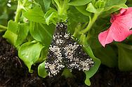 Rustic Sphinx Moth, Manduca rustica on Petunia; Sonoran Desert, Arizona