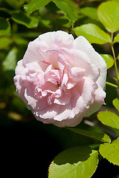 Light pink colored rose