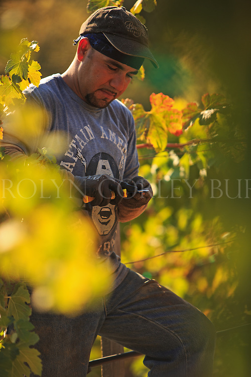 vineyard worker sharpening his vineyard knife.