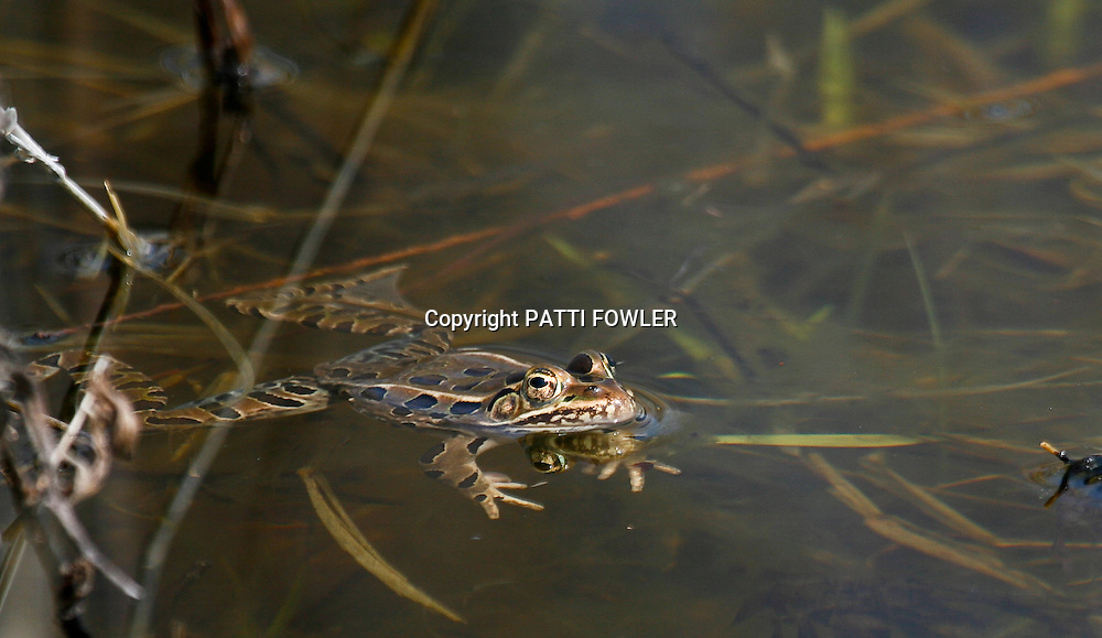 frogs in swamp water