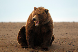 North American brown bear /  coastal grizzly bear (Ursus arctos horribilis) yawning on a sandy beach between Cook Inlet and Silver Salmon Creek, Lake Clark National Park, Alaska, United States of America