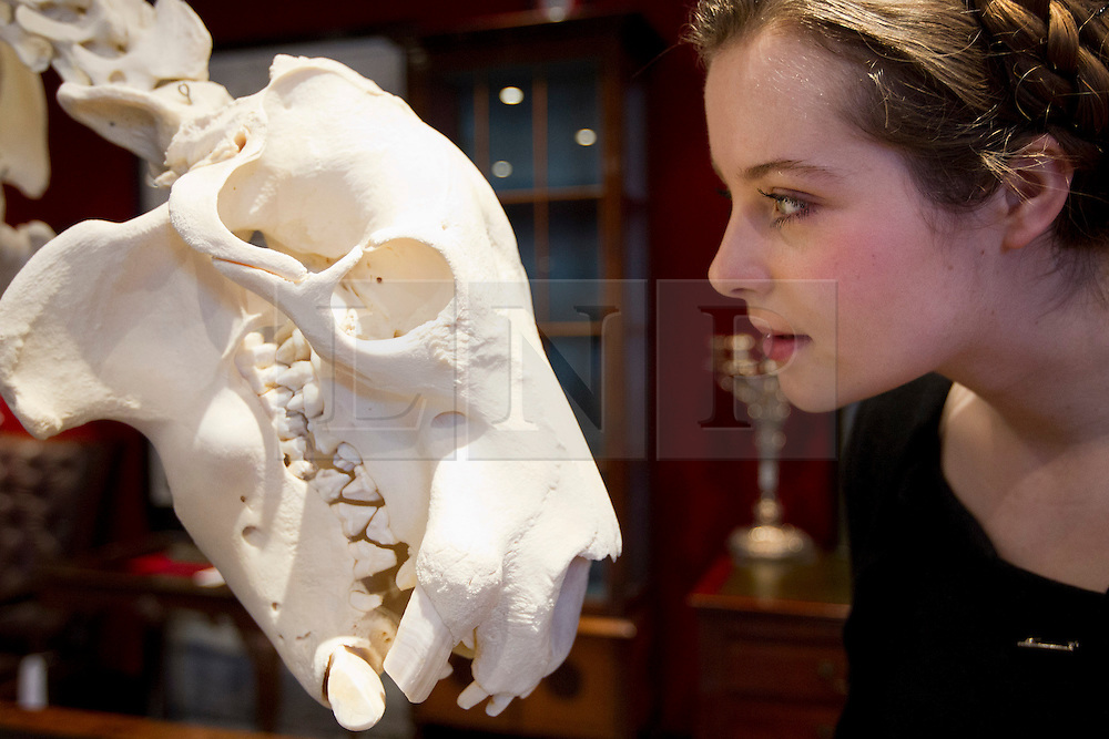 © Licensed to London News Pictures. 24/01/2013. London, UK. A Bonham's employee comes face-to-face with the mounted skeleton of a pygmy hippopotamus (est. GB£10,000-15,000), of which only 2,000-3,000 animals are thought to survive in the wild, at the press view for the 'Bonham's Gentleman's Library Sale' in Knightsbridge, London, today (24/01/13). The sale, made up of weird, wonderful, rare and practical items, - all fit for a gentleman's library - is set to take place at 10am on the 24th of January at the auction house's Knightsbridge premises. Photo credit: Matt Cetti-Roberts/LNP