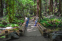 Muir Woods is world famous for its redwoods, Sequoia sempervirens. it is  located in the midst of a metropolitan region just eight miles north of San Francisco. 201304302173<br />