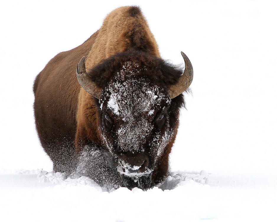 During the harsh winter season, Yellowstone Park is known for heavy snowfall and howling winds. This bull bison was having a difficult time trudging through the deep snow of Lamar Valley in early January.