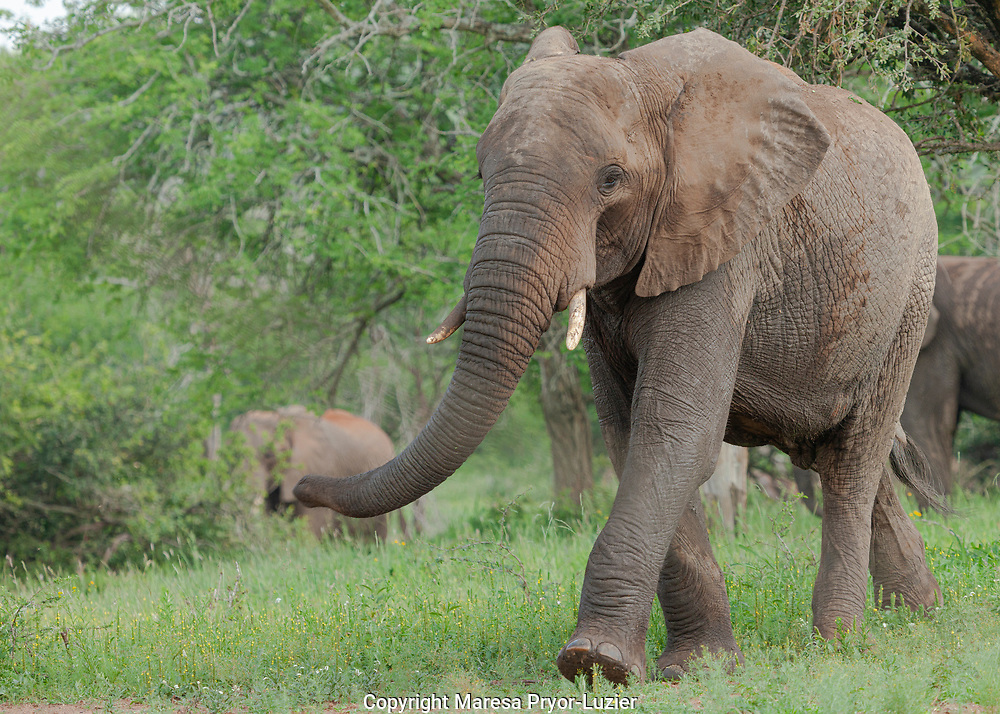 South African Elephant Bull, Loxodonta africana<br /> Imfolozi Game Reserve<br /> South Africa