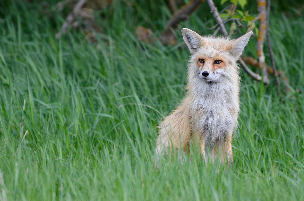 Fox in Oregon's Wallowa Valley.