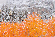 Fresh snow on fall aspens and pines, Inyo National Forest, Sierra Nevada Mountains, California