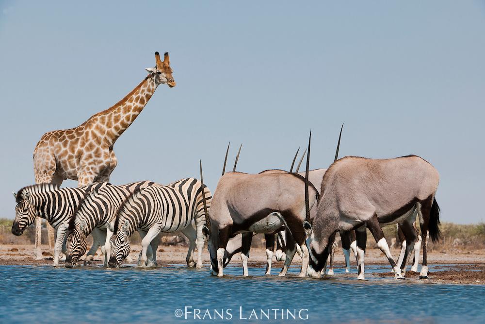 Giraffe, Giraffa camelopardalis, zebras, Equus quagga, and oryxes, Oryx gazella, at waterhole, Etosha National Park, Namibia