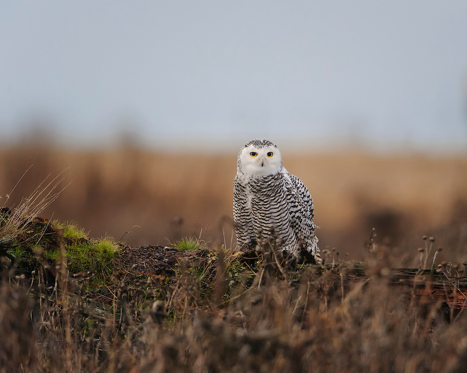 Snowy Owl, Pacific Northwest Coast