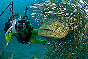 Underwater Photographer and Goliath Grouper (Epinephelus itajara) during a spawning aggregation in Jupiter, FL.