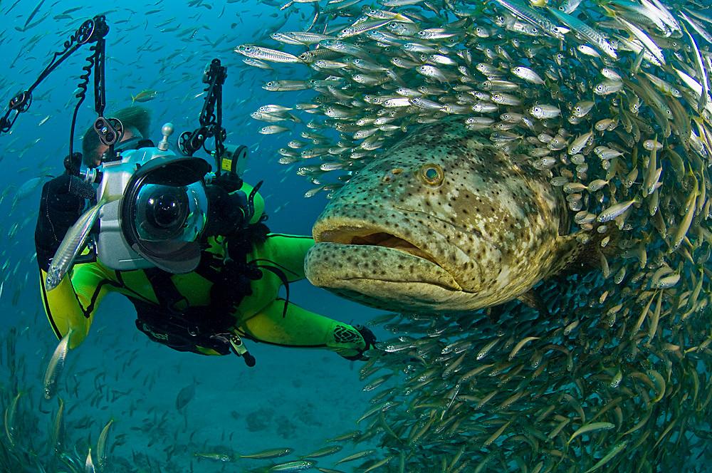 Underwater Photographer and Goliath Grouper (Epinephelus itajara) during a spawning aggregation in Jupiter, FL.