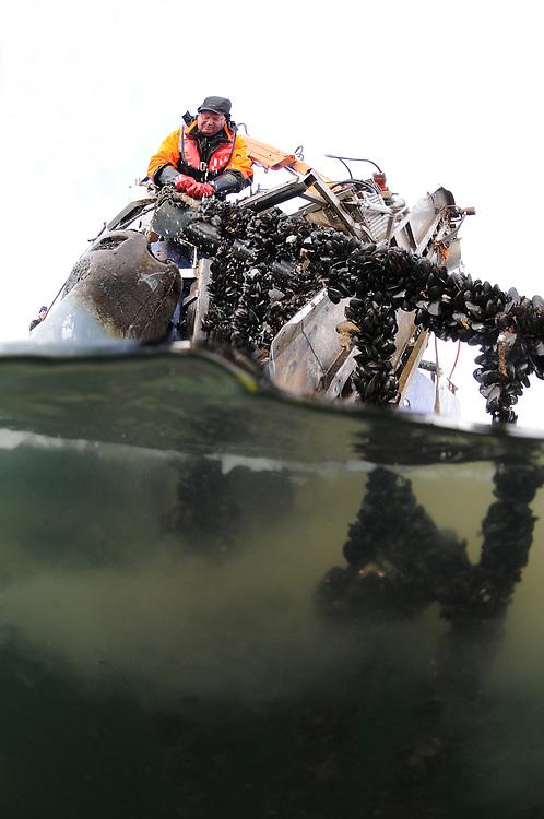 Common Mussel (Mytilus edulis) in sea farm. Location : Norway