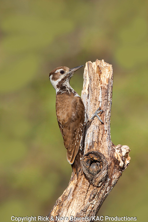 Arizona Woodpecker <br /> Picoides arizonae <br /> Madera Canyon, Santa Cruz County, Arizona, United States<br /> 17 May      Adult Female      Picidae