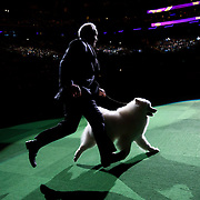 February 16, 2016 - New York, NY : The Samoyed enters the arena for Best of Show judging during the 140th Annual Westminster Kennel Club Dog Show at Madison Square Garden in Manhattan on Tuesday evening, February 16, 2016. CREDIT: Karsten Moran for The New York Times