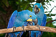 The Hyacinth Macaw is the world's largest flying parrot.