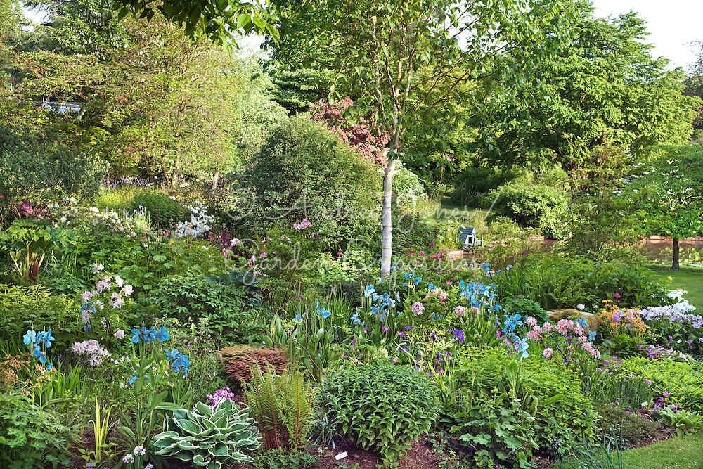 Spring borders by the pond planted with Meconopsis, Primula, Rhododendron, Hosta, Iris, ferns and a white barked Betula cv (birch)<br /> <br /> Gresgarth Hall &amp; Gardens, Lancashire, England