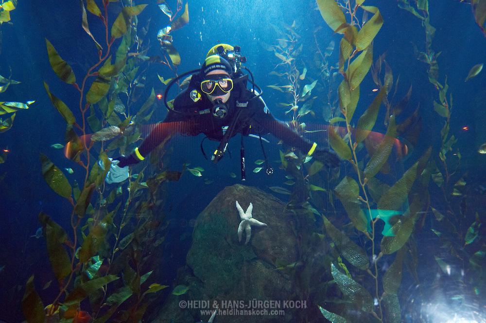"""ESP, Spanien: L'Oceanogràfic, zur Zeit das groesste Aquarium Euorpas, Taucher im Kelpwald, Scheiben werden regelmaessig geputzt, Kelpwald befindet sich in der Anlage """"Temperierte und Tropische Gewaesser"""", Stadt der Kuenste und Wissenschaften, Valencia, Valencia   ESP, Spain: L'Oceanogràfic, at the moment the largest Aquarium of Europe, diver in kelp forest, panes are regulary cleaned, kelp forest is located in area """"Tempered and Tropical Waters"""", City of Arts and Sciences, Valencia, Valencia  """