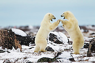Two male polar bears (Ursus maritimus) playing, Seal River, Manitoba, Canada