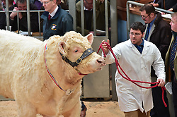 """Pictured: The World Famous  Stirling Bull Sales come to an end today with the sale of some 1000 bulls in the pedigree Charolais stock range some coming  from as far as Orkney Bulls sold in price from £5000 to £25,000  <br /> Pic : JoeyKelly EEm 19/02/2017<br /> <br /> PRESS RELEASE CAPTION:<br /> 1048 pedigree cattle to go under the hammer at Stirling Bull Sales<br /> United Auctions is set to stage 1048 pedigree bulls and females on show and sale for the Stirling Bull Sales next month.<br /> A compact format continues this year for the two-week event at Stirling Agricultural Centre, which runs from Sunday 5th to Monday 6th February and from Sunday 19th to Tuesday 21st February.<br /> In week one, judging of Aberdeen-Angus and Beef Shorthorn breeds will take place on the first Sunday while Monday 6th February will feature the sales of Aberdeen-Angus, Beef Shorthorn, British Blue as well as Limousin cattle whose pre-sale show is held in the morning.<br /> Sunday judging continues in week two with the pre-sale shows of Simmental and Salers on Sunday 19th February followed by their sales on Monday 20th February.<br /> The show and sale of pedigree Charolais will take place on Monday 20th and Tuesday 21st February, respectively.<br /> John Roberts, Director and Auctioneer at United Auctions, said: """"The Stirling Bull Sales offer a top quality line up of pedigree bulls and females appealing to both pedigree and commercial buyers.<br /> """"The compact programme aims to effectively maximise farmers' time at the Sales. With four different breeds on sale on the first Monday, the atmosphere will be tremendous.""""<br /> The national event from Scotland's leading livestock auctioneers sees an increase in the number of Aberdeen-Angus bulls forward – up 20 – on last year while week two features a new Centre record of 29 Salers bulls forward. Auctioneer Raymond Kennedy will lead this sale on Monday 20th February.<br /> David Brown, Director and Auctioneer at United Auctions, commented:"""