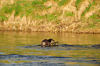 Juvenile otter scent marking on rock in River Tweed,<br /> Lutra lutra,<br /> Scotland - March
