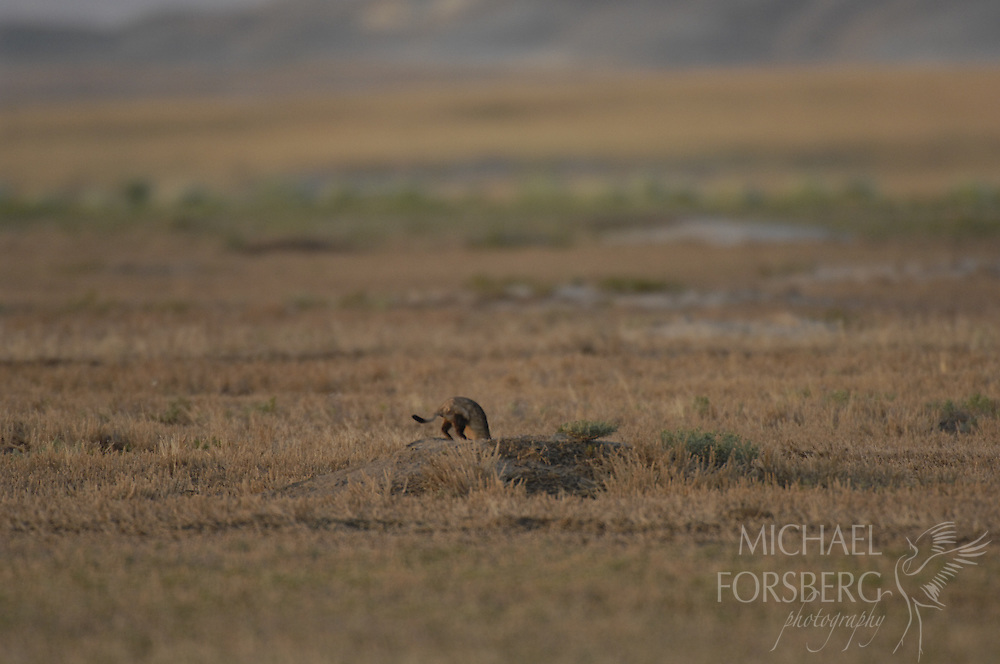 Conata Basin, Buffalo Gap National Grassland, South Dakota..Six year old female black-footed ferret(known as F02-001 - oldest wild born ferret known to exist) ambush hunting after sunrise outside prairie dog burrow entrance.