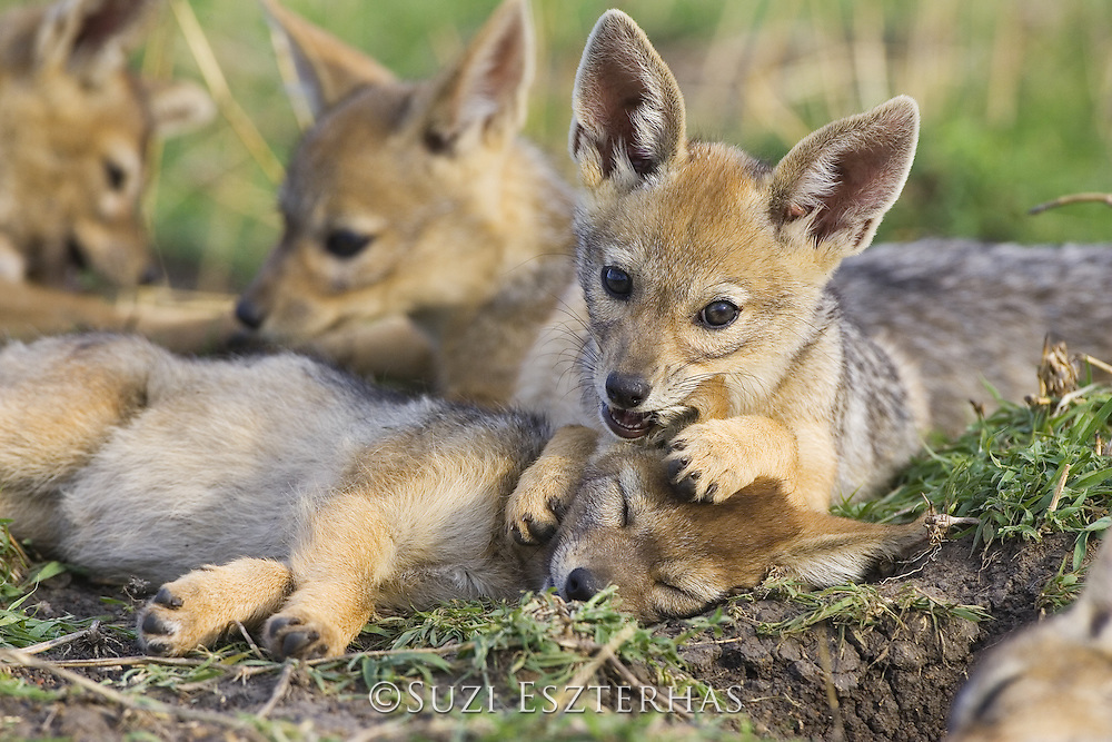 Black-backed Jackal<br /> Canis mesomelas<br /> 6 week old pup(s) playing<br /> Masai Mara Triangle, Kenya