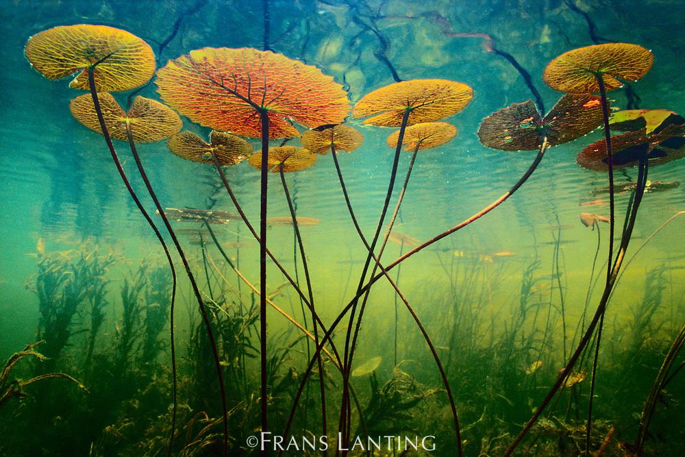 Water lilies, Okavango Delta, Botswana