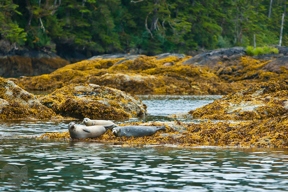 A family of harbor seals rest on rocks during low tide in Culross Pass in Prince William Sound, Alaska.