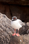 A swallow-tailed gull (Creagrus furcatus) on Genovesa Island, Galapagos Archipelago - Ecuador.