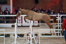 019, Prosecco van den Bosdam<br /> Hengstenkeuring BWP - Lier 2018<br /> © Hippo Foto - Dirk Caremans<br /> 20/01/2018