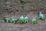 Coca - Saturday, Dec 22 2007: Six Scaly-naped Amazons (Amazona mercenaria) on a clay lick at Yasuni National Park. (Photo by Peter Horrell / http://www.peterhorrell.com)
