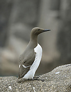 Guillemot Uria aalge L 42cm. Familiar seabird that nests in densely packed breeding colonies. Swims well and flies on whirring wingbeats. Sexes are similar. Adult in summer has chocolate-brown head and upperparts (darkest in N birds) and white underparts. Bill is dark and dagger-like; so-called 'Bridled Guillemot' has white 'spectacle' around eye. In winter, has white on cheeks and throat but black line running back from eye. Voice Utters growling calls at breeding colonies. Status Locally numerous at seabird colonies with precipitous cliff ledges. Moves offshore outside breeding season. Suffers badly in oil spills.