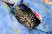 A domestic cat resting comfortably in a quilt.
