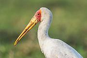 Portrait of an adult Yellow-Billed Stork, Chobe River, Kasane, Botswana.